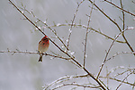 Cassin's Finch perched in a tree during a snowstorm in Wyoming.