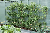 Apple tree espalier on blue wall in garden, with zucchini, leeks