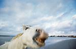 Camargue horse portrait, Ile de la Camargue, France