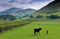 Welsh black cow and calf in valley meadow at Llanfihangel, Snowdonia, Gwynedd, Wales