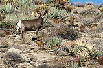 Peninsular Bighorn Sheep, Anza-Borrego Desert State Park, California, USA
