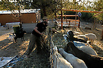 Gilad Polack feeds the goats of his neighbor, at the unauthorized Israeli outpost of Chavat Ma'on, West Bank.