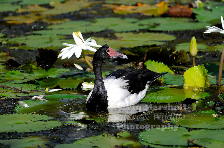 The Magpie Goose (Anseranas semipalmata) is a waterbird species found in coastal northern Australia and savannah in southern New Guinea. It is a unique member of the order Anseriformes, and arranged in a family and genus distinct from all other living waterfowl. The Magpie Goose is a resident breeder in northern Australia and in southern New Guinea.