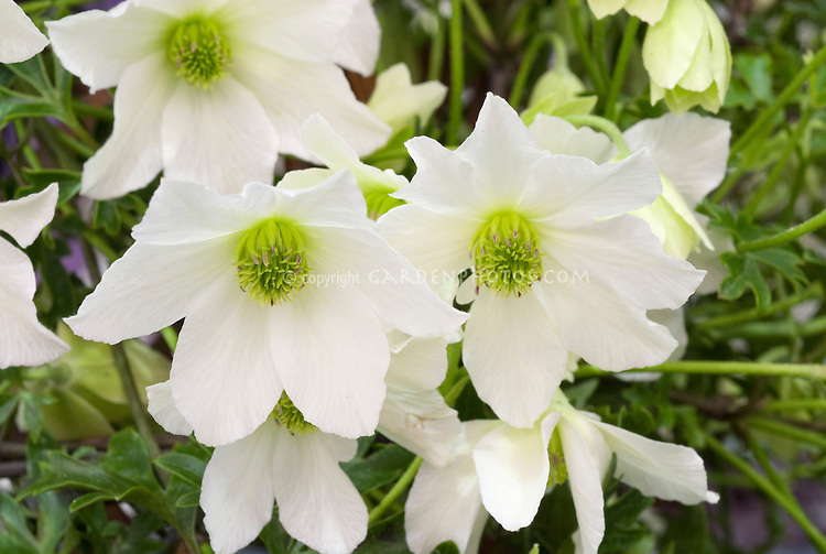 stock photos clematis garden vines  images  plant  flower stock, Natural flower