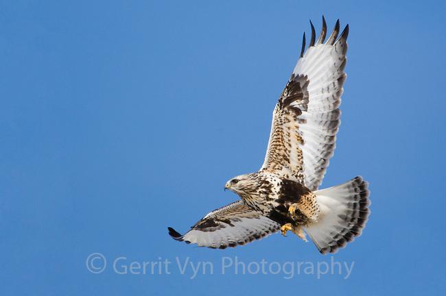 Adult female light morph Rough-legged Hawk (Buteo lagopus) in flight. Jefferson County, New York. March.