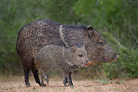 650520312 wild javelinas or collared peccaries dicolytes tajacu forage near a waterhole on santa clara ranch in starr county rio grande valley texas united states