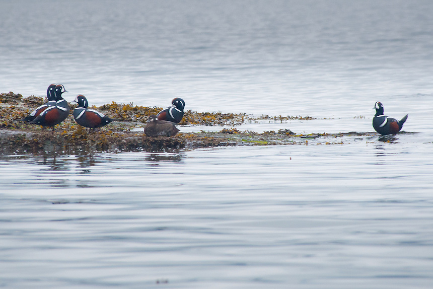 Harlequin Ducks (Histrionicus histrionicus) off Russell Island, Gulf Islands National Park Reserve, British Columbia, Canada