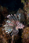 Lionfish in the Bahama Islands