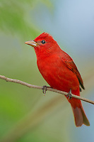 580980050 a wild male summer tanager pitanga rubra on south padre island cameron county texas united states