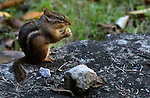 A chipmunk eats above Camp Creek Road in Hyden, Ky. Friday, Oct 12, 2013. Photo by Judah Taylor