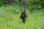 Grizzly 610's cub stands in a green meadow in Grand Teton National Park, Wyoming.