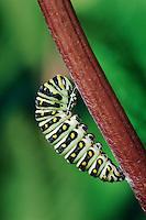 Eastern Black Swallowtail caterpillar (Papilio polyxenes asterius) prepares to pupate. Summer. Nova Scotia, Canada.