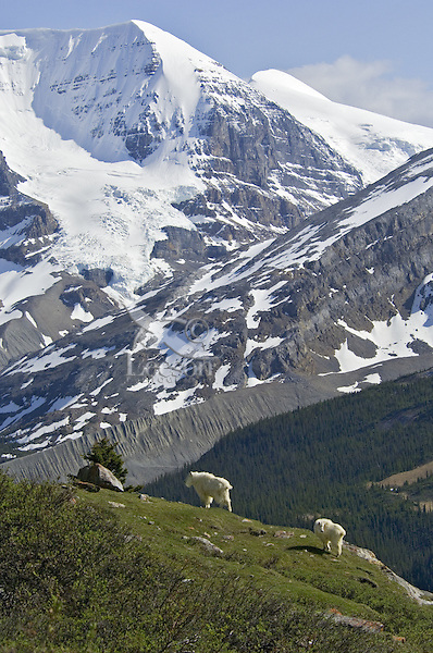 Mountain Goats (Oreamnos americanus)--nanny with last years kid.  Northern Rockies.  June.