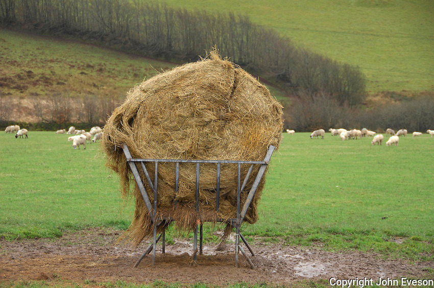 A bale of silage into an outside feeder, Devon for feeding sheep....Copyright John Eveson 01995 61280.j.r.eveson@btinternet.com