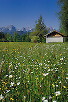 Dandylions and spring flowers in June. With farm building and the Alps in the background.Lake Forgansee area, Bavaria, Germany.