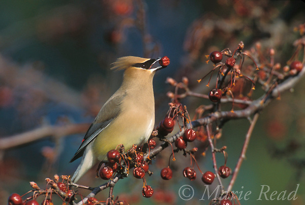 Cedar Waxwing (Bombycilla cedrorum) feeding on crabapple fruits, Ithaca, NY, USA<br />