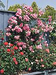 Berries and Cream climbing Rose, Rosa hybrid
