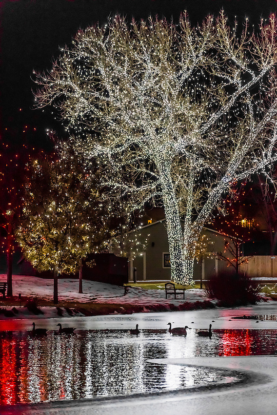 Geese floating on water in lake, A Hudson Christmas (holiday light show at Hudson Gardens), Littleton, Colorado USA.