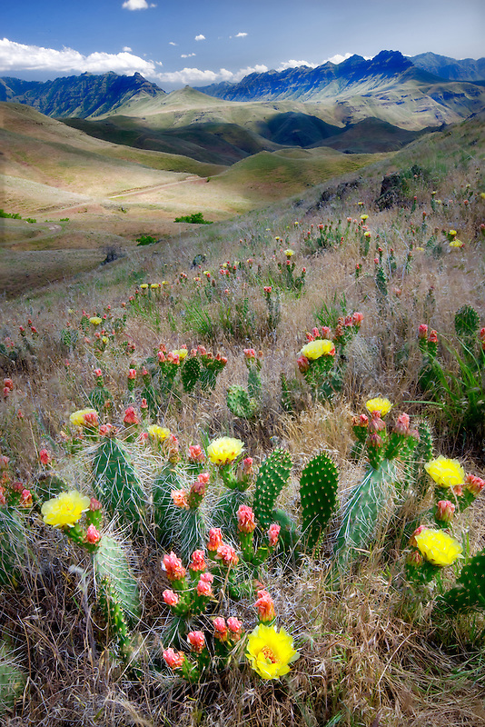 Prickly pear cactus in Imnaha Gorge. Hells Canyon National Recreation Area, OR