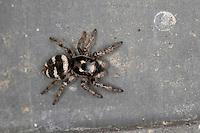 Zebra-Springspinne, Zebraspringspinne, Zebraspinne, Springspinne, Harlekinspringspinne, Harlekin-Springspinne, Salticus scenicus, zebra jumper, Springspinnen, Salticidae, jumping spider, jumping spiders