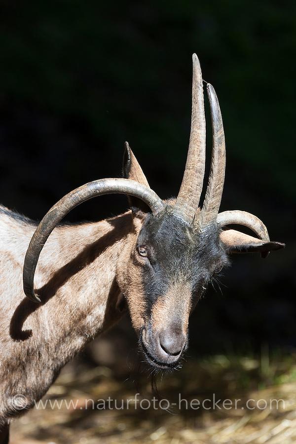 Vierhornziege, Vierhorn-Ziege, Hausziege, Ziege, Haustierrasse, Capra aegagrus hircus, domestic goat, Four Horn Goat, Four-Horn-Goat