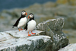 Two puffins standing on rocks on the coast of Maine.