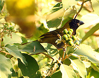 Crimson-collared grosbeak feeding in potato tree