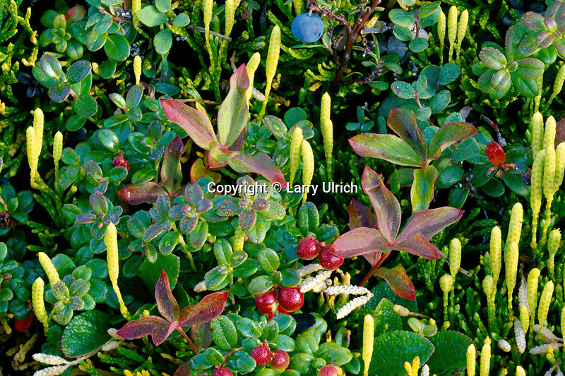 Blueberry, cranberry and club moss<br />