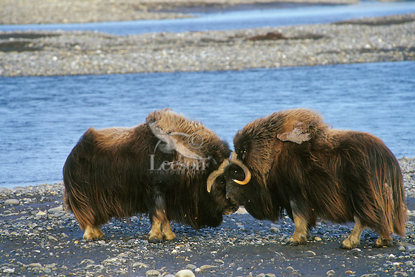 MB406  Muskoxen bulls butting heads. (Ovibos moschatus). .Dominance posturing among males.  Arctic Alaska.  July.