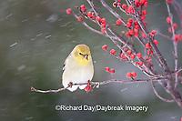 01640-155.19 American Goldfinch (Carduelis tristis) in Common Winterberry (Ilex verticillata) in winter, Marion Co. IL