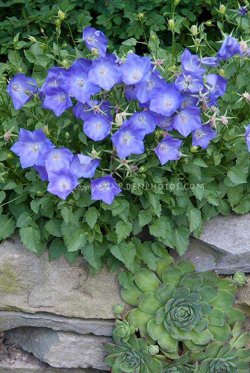 Campanula carpatica blue flowers growing on stone wall in garden, clump perennial plant, with sempervivum hen and chicks succulent growing vertically