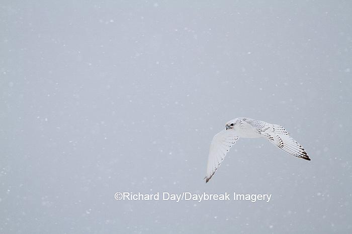 00817-00612 Gyrfalcon (Falco rusticolus) white phase in flight in snow Churchill Wildlife Management Area Churchill MB