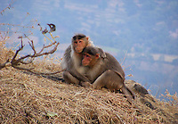 Monkey couple on mountain cliff