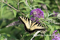 03023-03117 Eastern Tiger Swallowtail (Papilio glaucaus) on Butterfly Bush (Buddleja davidii) Marion Co. IL