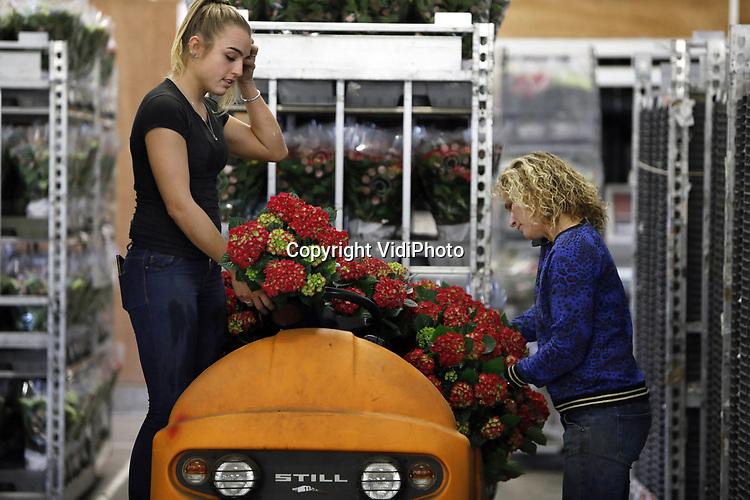 Foto: VidiPhoto<br /> <br /> EST - Kweker Marjanne van den Berg uit Est bij Geldermalsen heeft vrijdag de handenvol aan het verzendklaar maken van haar hortensia's. De drukte neemt de komende weken alleen maar toe, nu Wageningen Universiteit donderdag onderzoeksresultaten heeft gepresenteerd die aantonen dat het ziekteverzuim op kantoor 20 procent lager ligt dankzij planten. Dat komt neer op gemiddeld 1,6 ziektedag minder per medewerker per jaar. Een van de belangrijkste redenen is de hogere luchtvochtigheid. Bij droge lucht hebben werknemers sneller last van griep, vermoeidheid, droge ogen en hoofdpijn. In de wintermaanden zorgt de aanwezigheid planten zelfs voor een forse verbetering van de luchtvochtigheid (17 procent). Uit onderzoek van Fytagoras Plant Science uit Leiden blijkt bovendien dat hortensia's de meeste bijdrage leveren aan het verbeteren van de luchtvochtigheid. Andere positieve effecten zijn onder meer een positievere gemoedstoestand en een hogere tevredenheid over eigen functioneren. Van den Berg verwacht daarom dat de komende weken de vraag naar hortensia's groter zal zijn dan het aanbod.