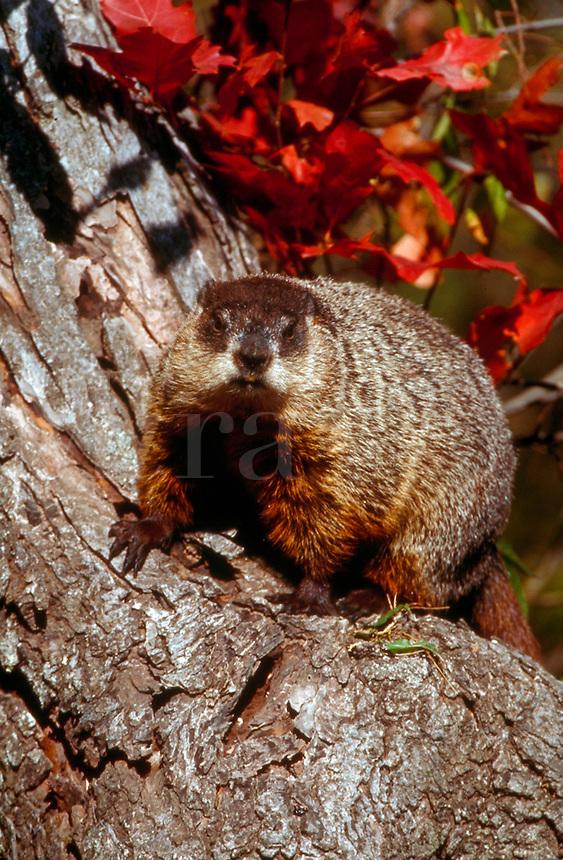 Groundhog sitting in an autumn tree