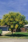 10611-CB Goldenrain Tree, Koelreuteria paniculata, lawn tree in bloom, at Visalia, CA