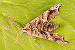 Sphinx Moths  (Hawk Moths, Hornworms) Sphingidae
