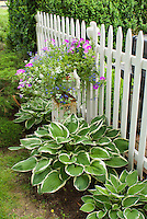 Planter container pot on picket fence with lobelia, petunias and annual flowers, with in ground perennial hostas in shade