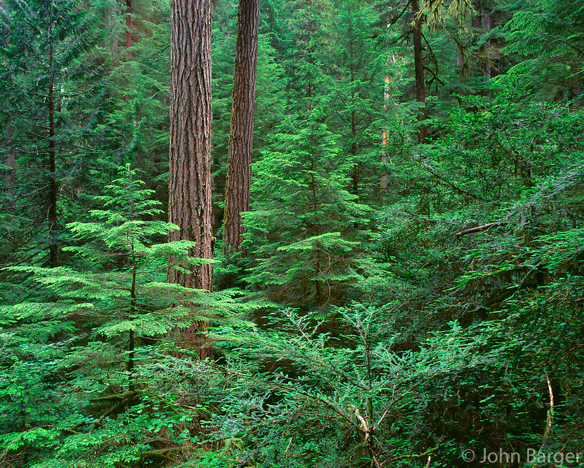 67ORCAC_021 - USA, Oregon, Willamette National Forest, Middle Santiam Wilderness, Large  Douglas fir trees with western hemlock and Pacific yew saplings in the understory of old-growth forest.