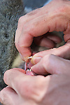 Checking Teeth Of Mountain Brushtail Possum
