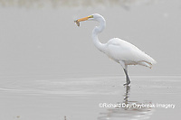 00688-02508 Great Egret (Ardea alba) feeding in wetland in fog, Marion Co., IL