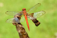 Dragonfly on Moorea in Society Islands