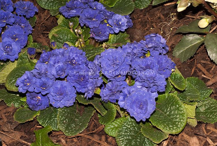Vivid blue flowers of double flowered perennial Primula Belarina Cobalt Blue