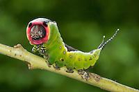 Großer Gabelschwanz, Raupe, Abwehrverhalten, Cerura vinula, Dicranura vinula, puss moth, caterpillar, La Queue fourchue, Vinule, Grande harpie, Zahnspinner, Notodontidae