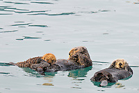 Alaskan or Northern Sea Otters (Enhydra lutris)--one nursing pup.