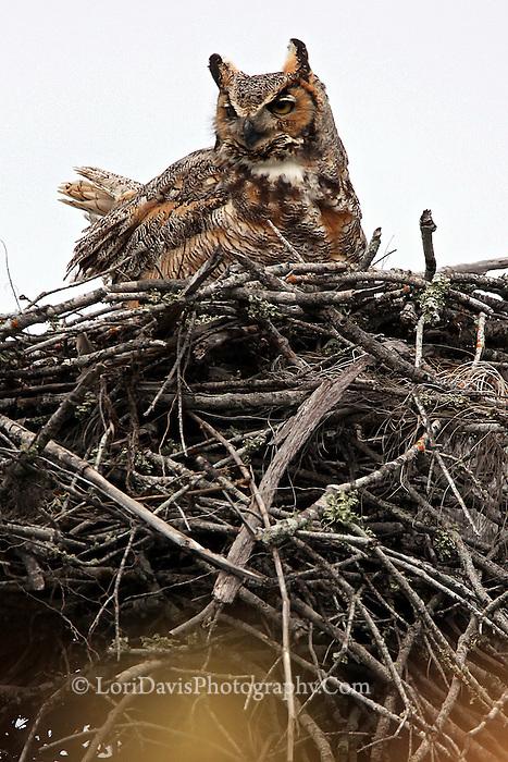 #B32 Great Horned Owl In Nest