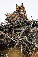 #B32 Great Horned Owl In Nest