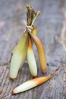 Europe, France, Midi-Pyrénées, Hautes-Pyrénées (65), Trebons: Oignon doux de Trébons // Europe, France, Midi Pyrenees, Hautes Pyrenees, Trebons: Trebons sweet onion