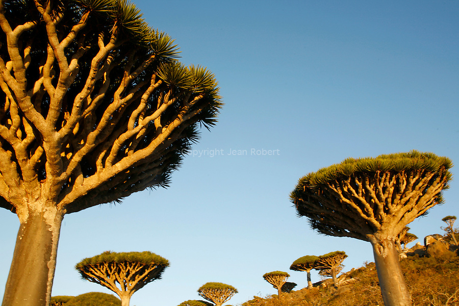 .Dragon's blood tree (dracanea cinnabari) on the Diksam plateau. Socotra island. Yemen